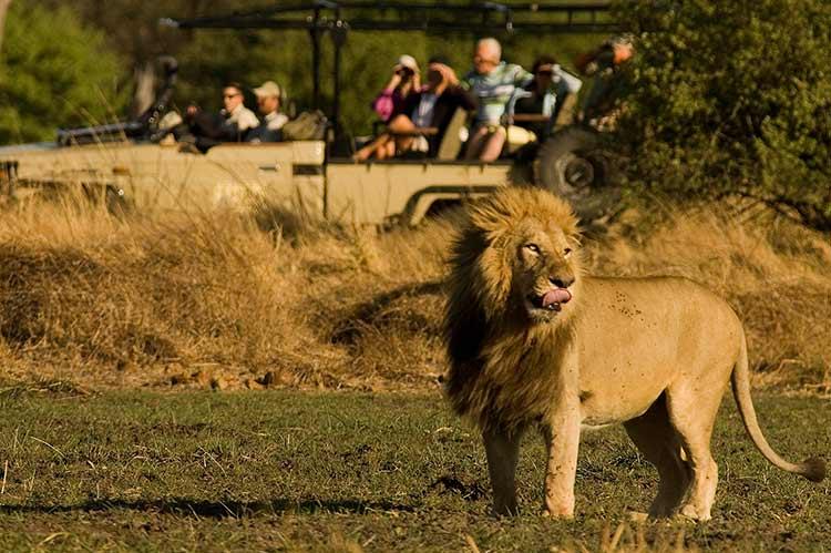 Singa di Taman Nasional Chobe   Sumber: Safari Specialist