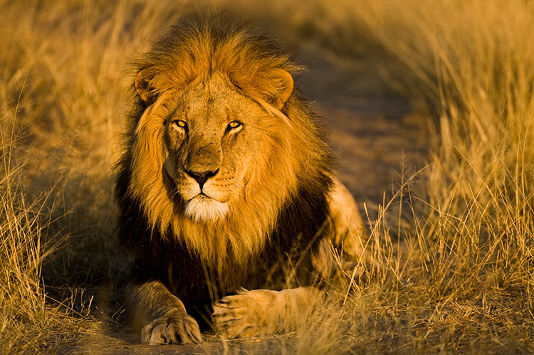 Lion in the Kalahari