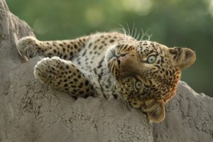 Lazy leopard watching you!