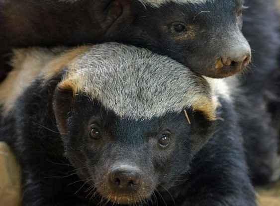 Honey badger cute image (2)