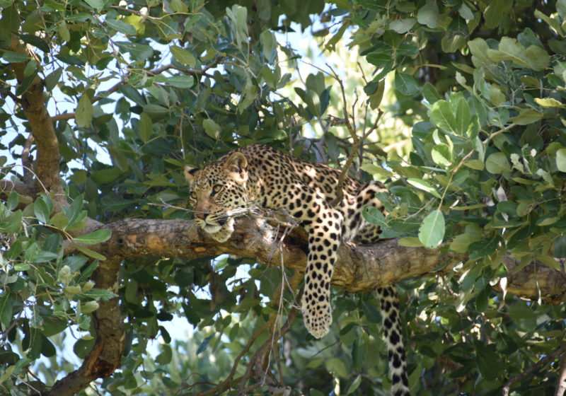 Green Season leopard in tree