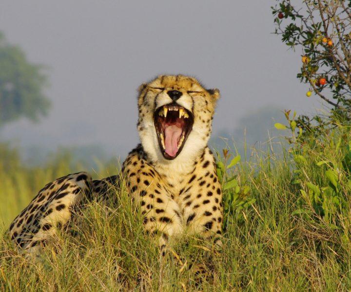 cheetah safari specialists okavango botswana