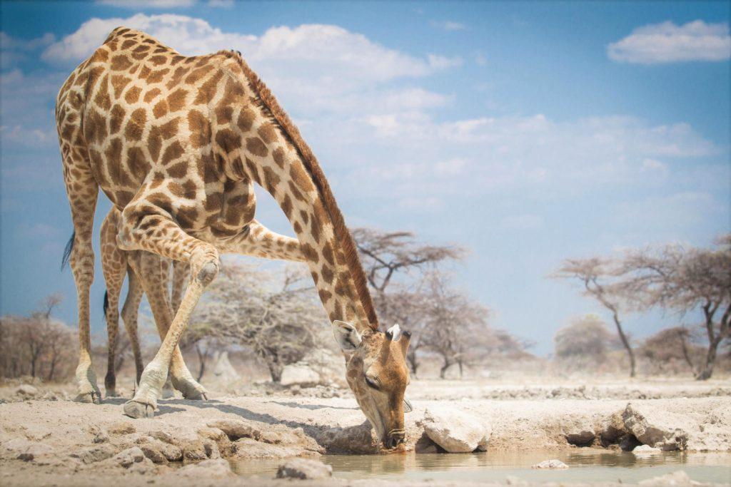 giraffe waterhole namibia safari specialists etosha