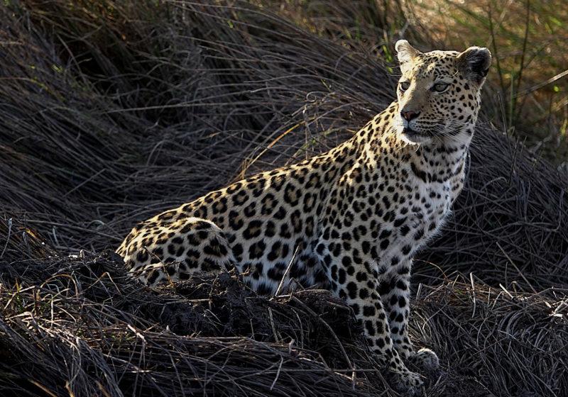 Female Leopard in Khwai